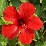 цветок роза каркаде